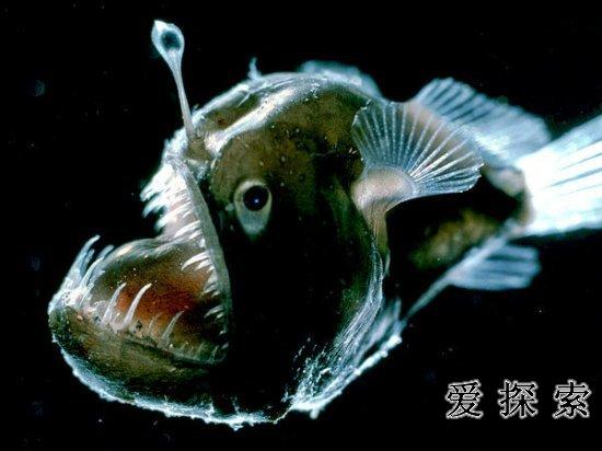 海底外星人?深海現罕見發光神秘生物圖片