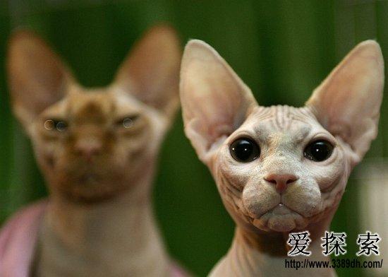 自然界中生活着一些不为人们所熟悉的奇特生物,其中有些长得极其难看,有些样子怪异,有些则十分可爱,还有的则恐怖得让人不敢直视……下面这些动物绝对是奇葩中的奇葩,保你这辈子都从来没有见过!    加拿大无毛猫顾名思义是一种浑身无毛的奇特的猫类品种,不过当然摸上去它身上还是温暖的    白鳖拥有奶白色的体色,但由于中华鳖典型的粉红色本色抵消并掩盖了其大部分的白色。