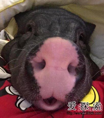 北京一女子每日和宠物猪同被窝睡觉(2)