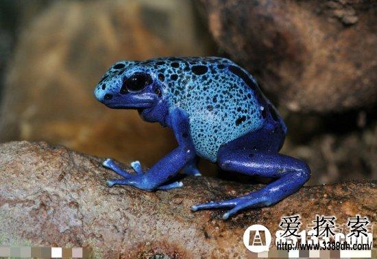 世界上最毒的动物:箭毒蛙见血封喉(3)