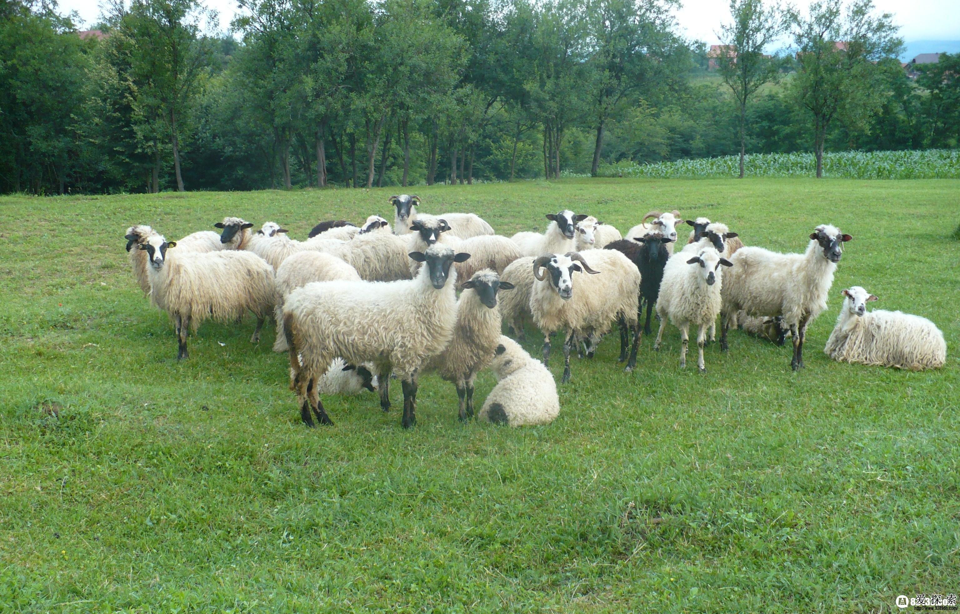古人以马牛羊鸡犬豕为六畜,羊不但榜上有名,还位居前列,足以说明其在古人心目中的重要位置,但羊虽然没有排在十二生肖的末尾,也是到了不上不下的第八位,为何羊会来到了老八的位置呢?请随小百来解开十二生肖羊的来历传说之谜。  十二生肖羊的传说 羊伴随人类的时间之久远、与人关系之密切,的确值得大书特书。因其形体适中,攻击力差,对人几乎毫无威胁,不似豺狼虎豹之凶猛令人毛骨悚然,于是便成最理想的狩猎目标之一。又因其食之者草,产出者奶、肉、毛、皮,加之其性格温顺,易于驯服,故而成为人类最早饲养的动物。 在中国民间传