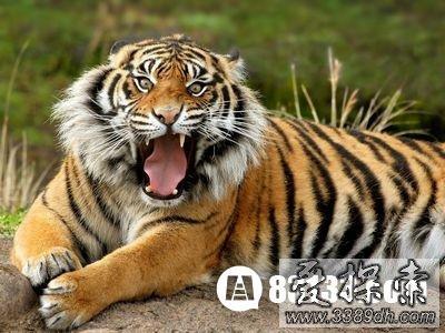 十二生肖虎代替狮子的由来故事图片